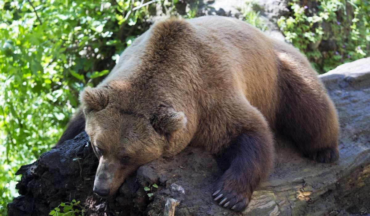 Quale orso non va mai in