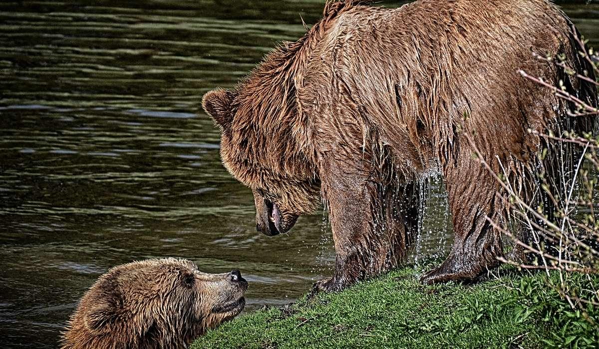 Qual è la particolarità del rapporto tra orso maschio e femmina?