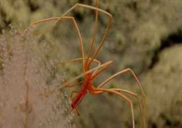 Fotografia nelle profondità marine di un esemplare appartenente al gruppo dei Picnogonidi.