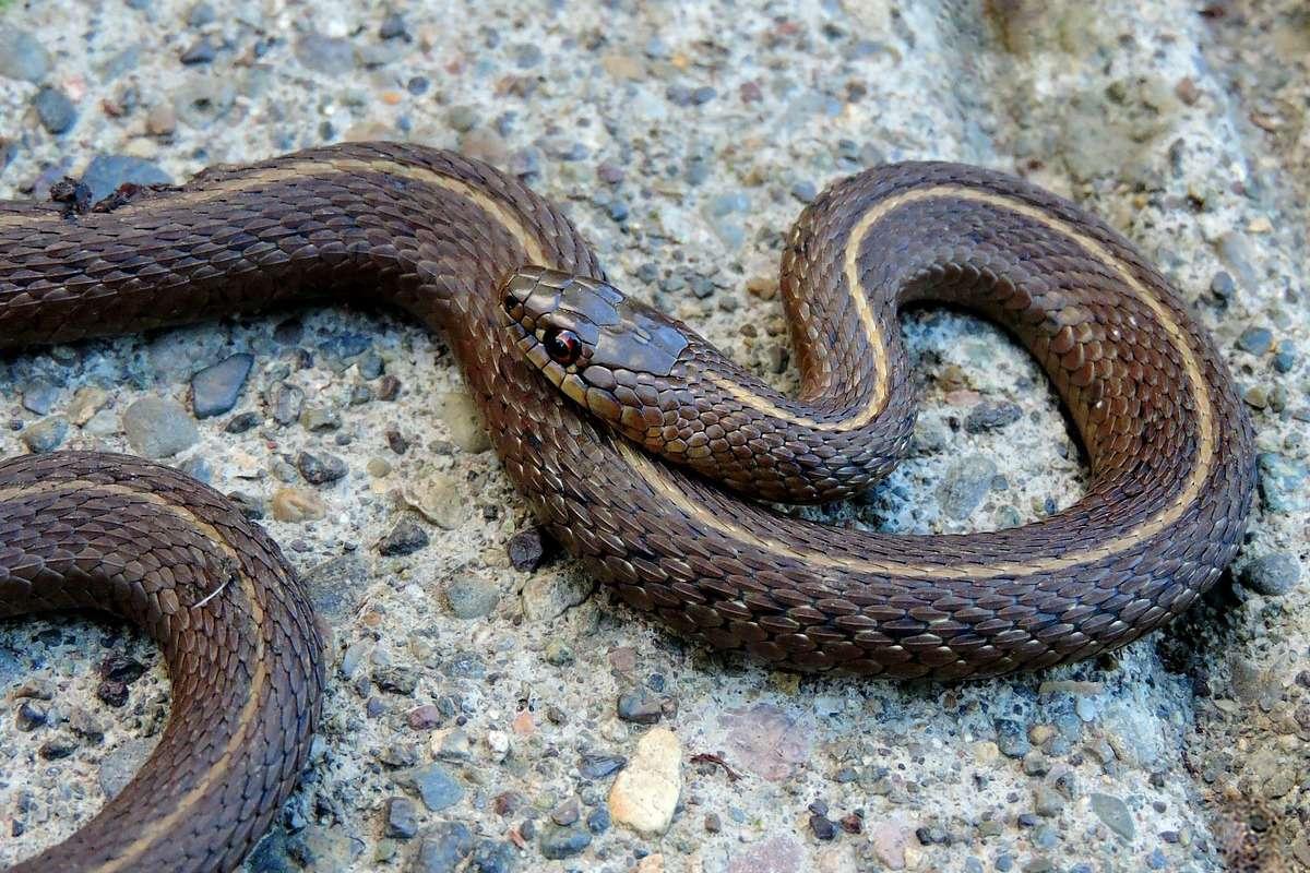 Cosa fanno alcuni serpenti giarrettiera del Manitoba durante l'atto riproduttivo?