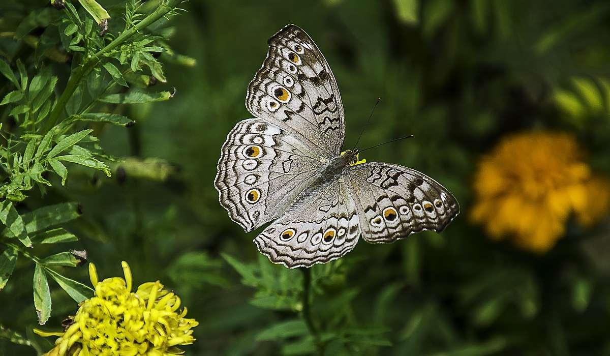 Invece la farfalla adulta di cosa si nutre?