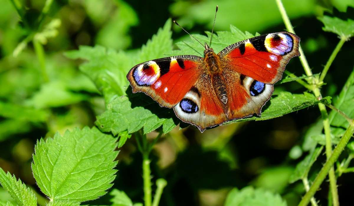 Quante sono le specie di farfalle e falene nel mondo?