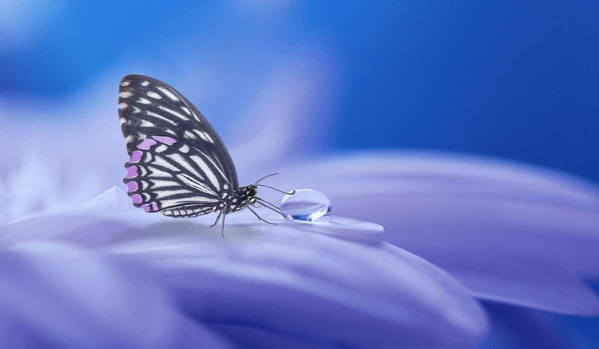 A quale ordine appartengono le farfalle?