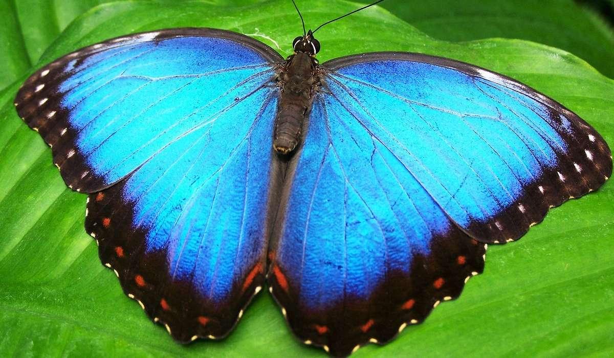 Quanti soni i principali stadi di un ciclo vitale di una farfalla?