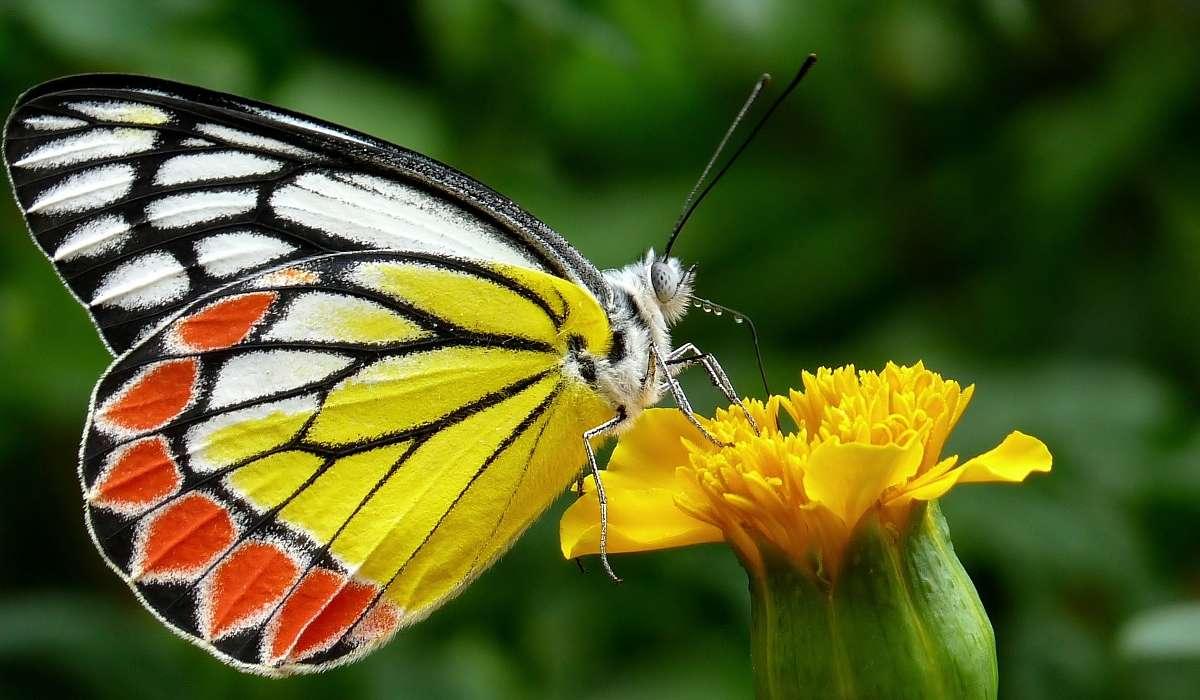 Che apertura alare può raggiungere la farfalla più grande esistente?