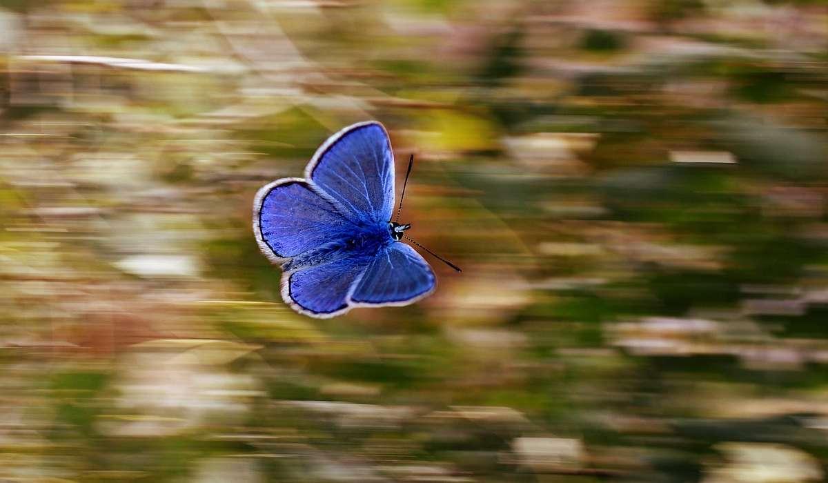 Esistono farfalle che migrano.