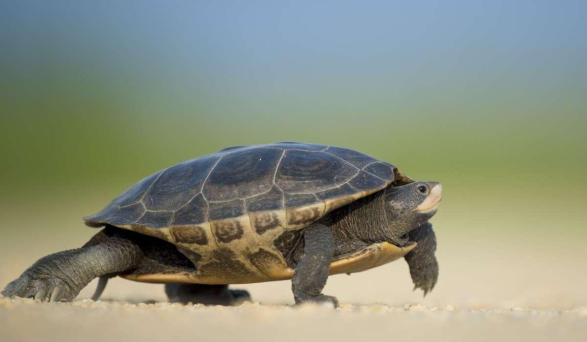 Qual è la differenza tra una tartaruga e un testuggine?