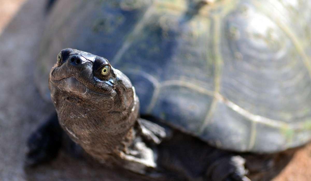 Che cos'è il carapace di una tartaruga?