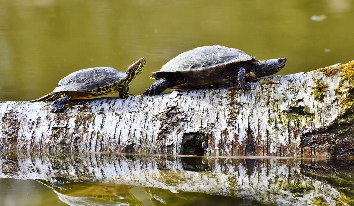 A quale classe appartengono le tartaruga e le testuggini?