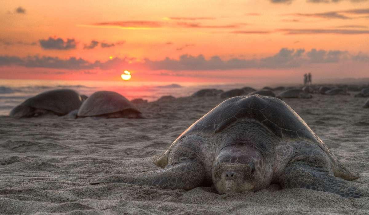 Le tartarughe non hanno le corde vocali.
