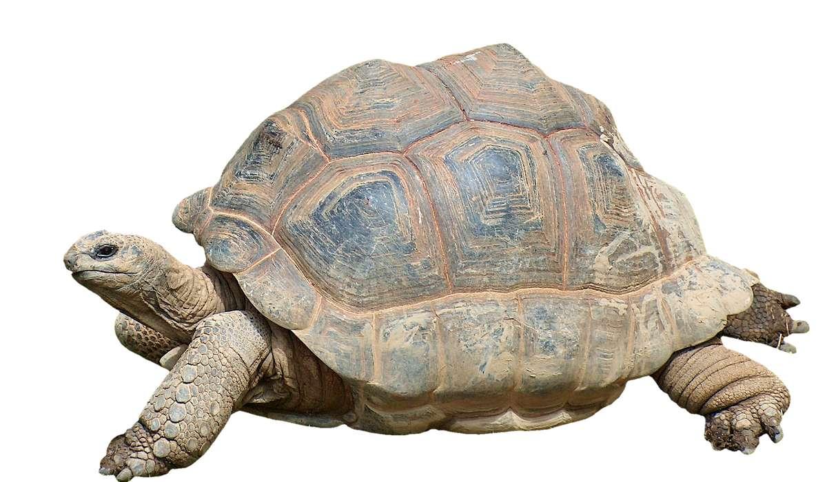 Qual è l'aspettativa minima di vita della tartaruga gigante delle Galapagos?