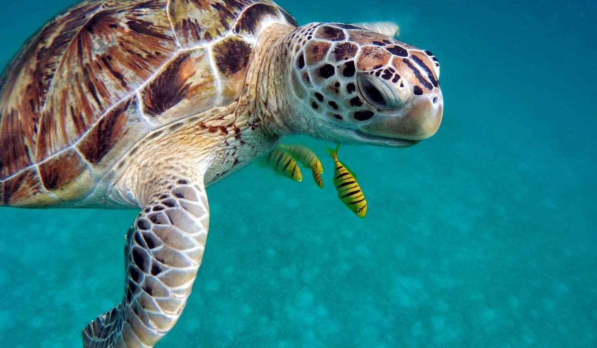 Quale velocità possono raggiungere in acqua alcune tartarughe?