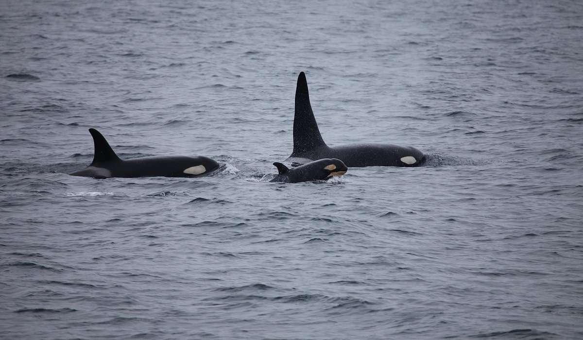 L'orca è diffusa generalmente in tutti i mari e gli oceani del mondo, ma preferisce le acque: