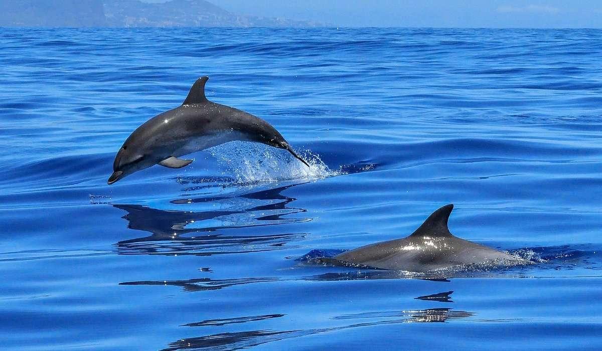 I delfini dispongono di un sistema di comunicazione complesso che funziona a:
