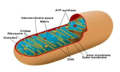Immagine di un mitocondri all'interno di una cellula. Al loro interno è presente il DNA mitocondriale che sarà fondamentale per scoprire l'identità di Jack lo Squartatore.