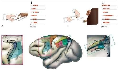 I neuroni specchio si trovano nel lobo parietale e in quello frontale.