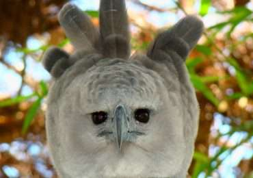 L'aquila arpia è uno dei più grandi rapaci del mondo ed è il più pesante e potente