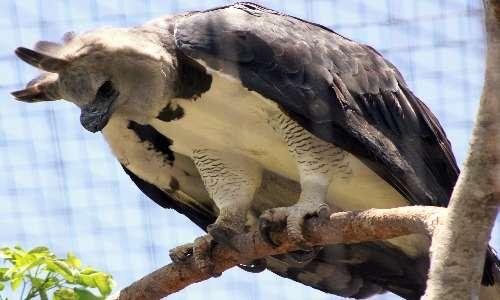 L'aquila arpia ha zampe potenti e artigli arcuati per afferrare e uccidere le sue prede