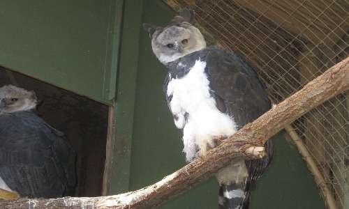 Gli esemplari di aquila arpia presenti negli zoo possono essere usati per ripopolare gli habitat naturali di questo rapace, in cui sta via via scomparendo