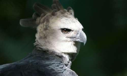 Le piume sulla testa dell'aquila arpia si rizzano quando il rapace sente di essere in pericolo