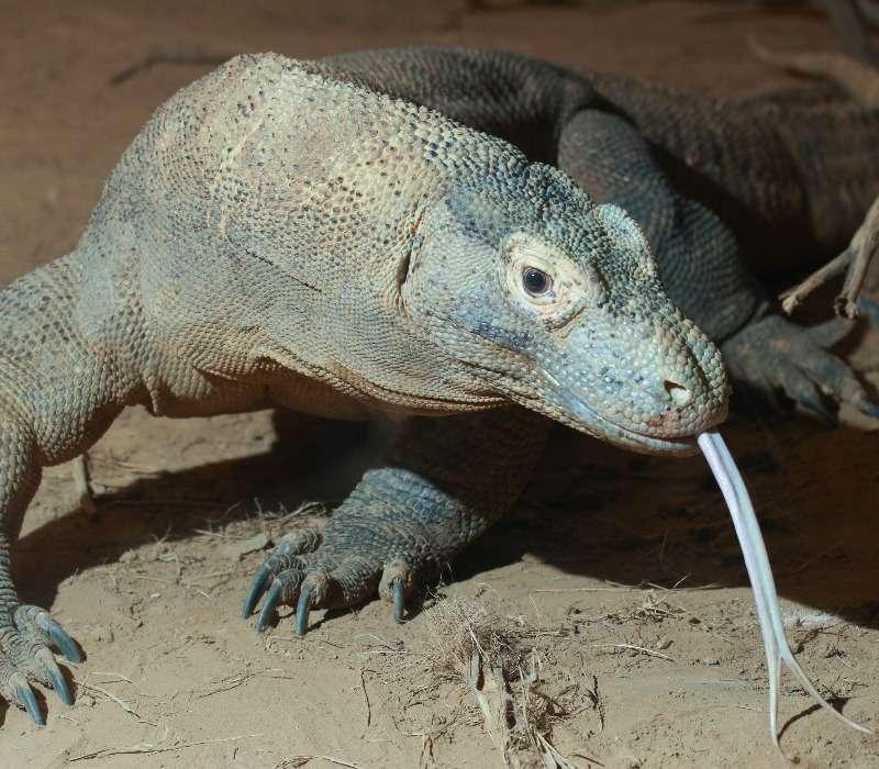 Il drago di Komodo è la lucertola più pesante e grande del mondo
