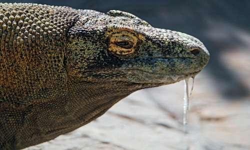 Il drago di Komodo uccide le proprie prede anche grazie alla saliva ricca di batteri letali e al veleno anticoagulante.