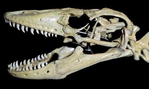 Il drago di Komodo ha grandi denti arcuati e acuminati e una grande apertura della bocca