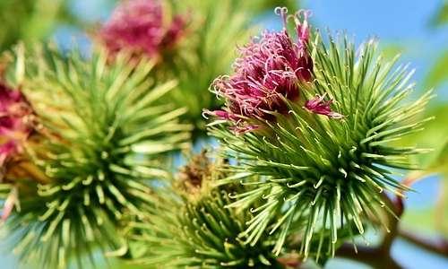 Dettaglio ravvicinato del fiore di bardana maggiore, si possono notare i minuscoli uncini che lo contraddistinguono. Il velcro è stato inventato in biomimesi con questo fiore.