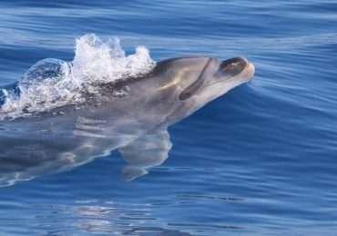 I delfini, in quanto odontoceti, sfruttano l'ecolocalizzazione per orientarsi e cacciare.