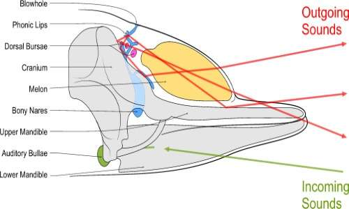 I delfini utilizzano un sistema di ecolocalizzazione che si basa sulla presenza del melone, per amplificare i suoni prodotti, e su mandibole strette e lunghe, per riceverli.