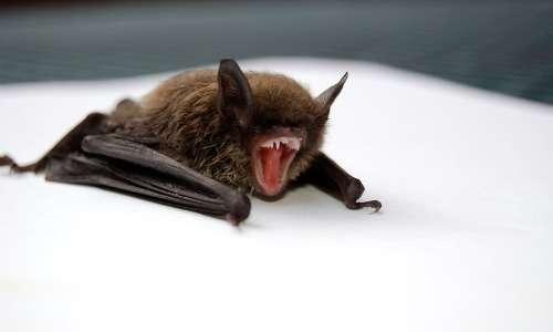 I pipistrelli svolgono ecolocalizzazione e quindi percepiscono l'ambiente che li circonda senza che sia necessario l'uso della vista.