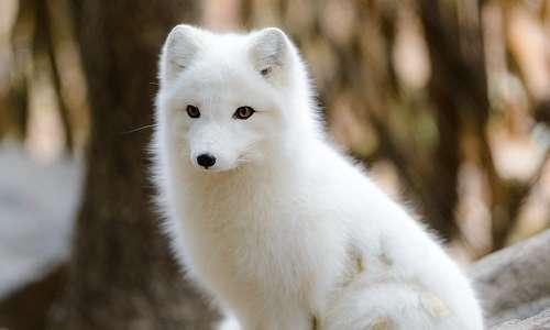 Volpe artica, riconoscibile dalla caratteristica pelliccia bianca che utilizzano per mimetizzarsi. La biomimesi consiste nel prendere spunto da questo tipo di soluzioni adottate in natura.
