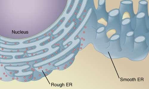 Il reticolo endoplasmatico è presente in tutti i tipi di cellula eucariote