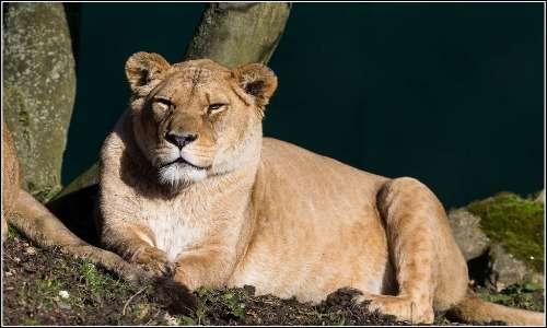 femmina di leone nero