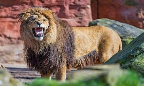 Esemplare di leone nero