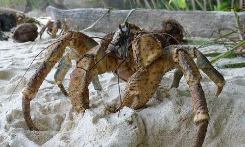 Il granchio del cocco, Birgus latro, è un artropode terrestre che assomiglia a un granchio (da cui il nome) ma che in realtà è un paguro.