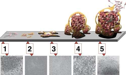Le diverse fasi della formazione di biofilm.