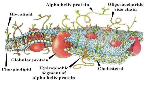 La membrana della cellula eucariote