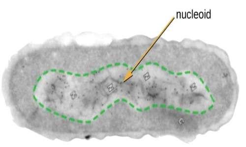 Il nucleoide è la regione della cellula procariota dove è presente il DNA.