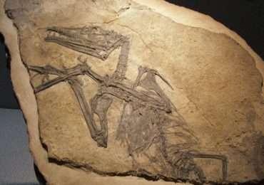 La roccia sedimentaria mostra un enorme fossile di pterosauro. I fossili costituiscono una risorsa inestimabile per la ricerca sulle specie estinte.