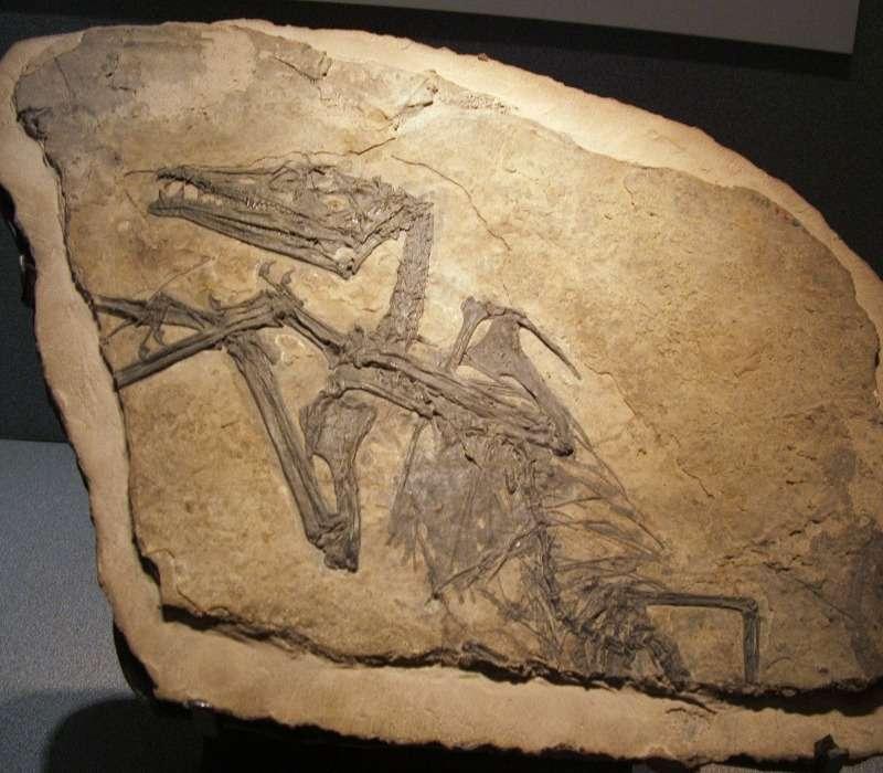 fossile di pterosauro