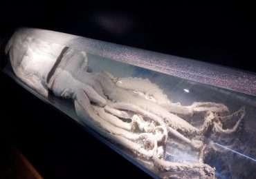 I calamari giganti sono molluschi che vivono negli abissi.