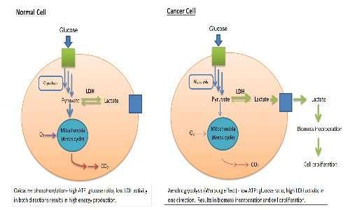 L'effetto warburg implica tassi di glicolisi molto maggiori nelle cellule tumorali e la loro preferenza a una fermentazione lattica.