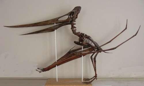 Lo scheletro di uno pterodattilo mostra come questi animali potessero presentare un becco particolarmente lungo e osseo. Uno pterodattilo è una diversità particolare di pterosauro.