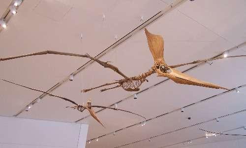I fossili di pterosauro sono utilissimi per ricostruire la struttura morfologica di questi animali.