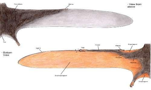 L'immagine costituisce un disegno esplicativo di ali di pterosauro. A partire dai resti fossili si cerca di ricostruire la morfologia e anatomia biologica dell'animale.