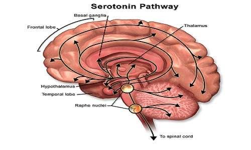 La serotonina viene prodotta dai neuroni serotoninergici, di cui molti situati nei nuclei di Rephe nell'encefalo