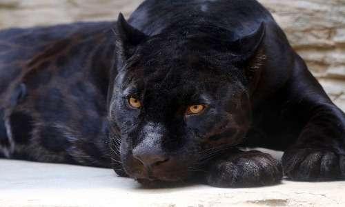 Sembra che il leone nero non possa esistere poichè non può raggiungere i livelli di melanismo di giaguari e leopardi.