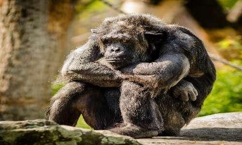 Gli scimpanzè sono primati non umani in cui non sono presenti fenomeni di discriminazione razziale