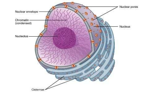 La cellula eucariote si differenzia da quella procariote per la presenza del nucleo.